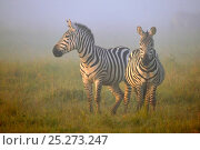 Burchell's Zebras (Equus quagga) in morning mist. Masai Mara, Kenya. Стоковое фото, фотограф Andy Rouse / Nature Picture Library / Фотобанк Лори