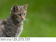European wild cat (Felix silvestris) sitting portrait, captive. Стоковое фото, фотограф Edwin Giesbers / Nature Picture Library / Фотобанк Лори