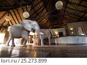 Купить «Two juvenile African elephants (Loxodonta africana) wander into a tourist safari lodge, Mfuwe Lodge, South Luangwa NP, Zambia, October», фото № 25273899, снято 23 июля 2018 г. (c) Nature Picture Library / Фотобанк Лори