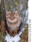 Wild cat (Felis silvestris) sitting in tree, captive, Germany. Стоковое фото, фотограф Edwin Giesbers / Nature Picture Library / Фотобанк Лори