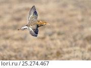 Купить «Ruff (Philomachus pugnax) in flight, Agapa River, Taimyr Peninsula, Siberia, Russia», фото № 25274467, снято 31 марта 2020 г. (c) Nature Picture Library / Фотобанк Лори