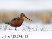 Купить «Bar tailed godwit (Limosa lapponica) in snow, Agapa River, Taimyr Peninsula, Siberia, Russia, June», фото № 25274483, снято 17 октября 2019 г. (c) Nature Picture Library / Фотобанк Лори