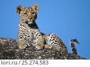Купить «Leopard cub portrait (Panthera pardus) Okavango Delta, Botswana», фото № 25274583, снято 18 октября 2018 г. (c) Nature Picture Library / Фотобанк Лори