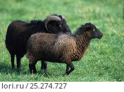 Купить «Domestic sheep (Ovis aries), Ouessant Sheep, ram and ewe, France», фото № 25274727, снято 15 августа 2018 г. (c) Nature Picture Library / Фотобанк Лори