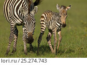 Burchell's Zebra (Equus quagga) mother with new born foal. Masai Mara, Kenya. Стоковое фото, фотограф Andy Rouse / Nature Picture Library / Фотобанк Лори