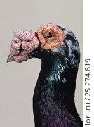 Купить «Domestic Pigeon (Black Carrier) head portrait.», фото № 25274819, снято 22 февраля 2019 г. (c) Nature Picture Library / Фотобанк Лори