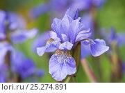 Купить «Siberian iris (Iris sibirica), Lower Saxony, Germany», фото № 25274891, снято 20 октября 2019 г. (c) Nature Picture Library / Фотобанк Лори