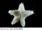 Купить «Starfish (Asteroid) with sensory and locomotive hydraulic tube feet extended. Collected from coral sea mount near Dragon vent field on SW Indian Ridge, Indian Ocean.», фото № 25274899, снято 23 апреля 2018 г. (c) Nature Picture Library / Фотобанк Лори
