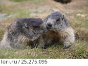 Two Alpine marmots (Marmota marmota) emering from hole. Hohe Tauern National Park, Austrian Alps, Austria, May. Стоковое фото, фотограф Konstantin Mikhailov / Nature Picture Library / Фотобанк Лори
