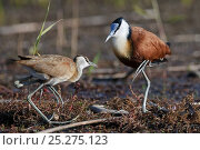 Купить «African jacana (Actophilornis africana) male and female in courtship display, Okavango Delta, Botswana», фото № 25275123, снято 17 октября 2019 г. (c) Nature Picture Library / Фотобанк Лори