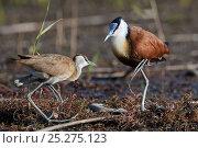 Купить «African jacana (Actophilornis africana) male and female in courtship display, Okavango Delta, Botswana», фото № 25275123, снято 14 октября 2019 г. (c) Nature Picture Library / Фотобанк Лори