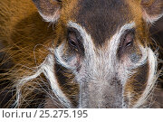 Red river hog (Potamochoerus porcus) close up of head, captive. Стоковое фото, фотограф Edwin Giesbers / Nature Picture Library / Фотобанк Лори