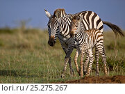 Burchell's Zebra (Equus quagga) mother with newborn foal. Masai Mara, Kenya. Стоковое фото, фотограф Andy Rouse / Nature Picture Library / Фотобанк Лори