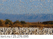 Купить «Snow Geese (Chen caerulescens) and Ross's Geese (Chen / Anser rossii) resting and flying at California's Sonny Bono Salton Sea National Wildlife Refuge...», фото № 25276095, снято 26 марта 2019 г. (c) Nature Picture Library / Фотобанк Лори