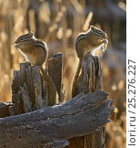 Купить «Two Least Chipmunks (Tamias minimus) sitting on tree stump feeding, Yellowstone National Park, Wyoming, USA, October, crop of 1373882», фото № 25276227, снято 20 мая 2018 г. (c) Nature Picture Library / Фотобанк Лори