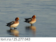 Купить «Two Wigeon (Anas penelope) drakes walking on frozen flooded marshland in winter sunshine, Greylake RSPB reserve, Somerset Levels, UK, January.», фото № 25277043, снято 12 декабря 2017 г. (c) Nature Picture Library / Фотобанк Лори