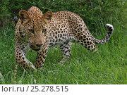 Купить «Leopard (Panthera pardus) low angle portrait of adult, Okavango Delta, Botswana», фото № 25278515, снято 19 октября 2018 г. (c) Nature Picture Library / Фотобанк Лори