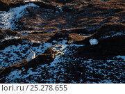 Купить «Pair of mountain hares (Lepus timidus) with white winter coats camouflaged amongst patchy snow, Kinder Scout, Peak District National Park, Derbyshire, UK, February.», фото № 25278655, снято 23 апреля 2018 г. (c) Nature Picture Library / Фотобанк Лори