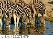 Burchell's Zebra (Equus quagga) herd drinking. Etosha, Namibia. Стоковое фото, фотограф Andy Rouse / Nature Picture Library / Фотобанк Лори