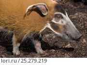 Red river hog (Potamochoerus porcus) profile portrait, captive. Стоковое фото, фотограф Edwin Giesbers / Nature Picture Library / Фотобанк Лори