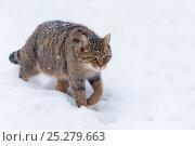 Wild cat (Felis silvestris) walking through snow, captive, Germany. Стоковое фото, фотограф Edwin Giesbers / Nature Picture Library / Фотобанк Лори