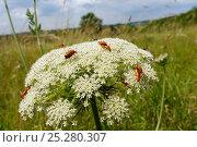 Купить «Common red soldier beetles / Black-tipped soldier beetles (Rhagonycha fulva) feeding and mating on Wild Carrot / Queen Anne's lace flowerhead (Daucus carota...», фото № 25280307, снято 9 июля 2020 г. (c) Nature Picture Library / Фотобанк Лори