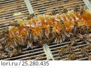 Купить «Worker Honey bees (Apis mellifera) defend honey comb from intruder Wasp (Vespula vulgaris) in beehive on heathland, Suffolk, UK, August. 2020VISION Exhibition. 2020VISION Book Plate.», фото № 25280435, снято 19 августа 2018 г. (c) Nature Picture Library / Фотобанк Лори