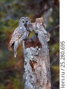 Купить «Ural Owl (Strix Uralensis) with rodent prey for chick in nest, in empty tree stump, Kuusamo Finland May», фото № 25280695, снято 21 ноября 2018 г. (c) Nature Picture Library / Фотобанк Лори