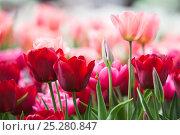 Купить «Tulips (Tulipa) cultivated, Schwerin, Germany», фото № 25280847, снято 20 октября 2019 г. (c) Nature Picture Library / Фотобанк Лори