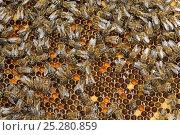 Купить «Worker European honey bees (Apis mellifera) on honeycomb in beehive, Suffolk, UK, August», фото № 25280859, снято 19 августа 2018 г. (c) Nature Picture Library / Фотобанк Лори
