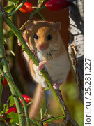 Купить «Hazel dormouse (Muscardinus avellanarius) climbing on rose hips, Schleswig-Holstein, Germany,», фото № 25281227, снято 3 апреля 2020 г. (c) Nature Picture Library / Фотобанк Лори