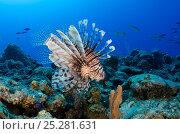Купить «Red Lionfish (Pterois volitans) Jardines de la Reina National Park, Cuba, Caribbean.  Invasive species off east coast of USA, South America and Caribbean», фото № 25281631, снято 25 марта 2019 г. (c) Nature Picture Library / Фотобанк Лори
