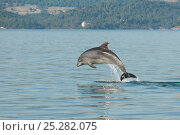 Купить «Juvenile Bottlenose dolphin (Tursiops truncatus) jumping, Sado Estuary, Portugal, November», фото № 25282075, снято 21 марта 2019 г. (c) Nature Picture Library / Фотобанк Лори
