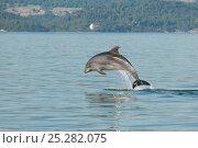 Купить «Juvenile Bottlenose dolphin (Tursiops truncatus) jumping, Sado Estuary, Portugal, November», фото № 25282075, снято 12 декабря 2018 г. (c) Nature Picture Library / Фотобанк Лори