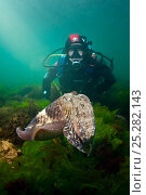 Купить «Diver observing a Common cuttlefish (Sepia officinalis) Babbacombe Bay, Devon, UK, April.», фото № 25282143, снято 23 января 2018 г. (c) Nature Picture Library / Фотобанк Лори