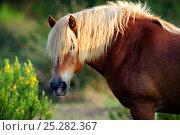 Купить «Comtois Horse (Equus caballus). Camargue reserve, Rhone, France, September.», фото № 25282367, снято 18 января 2019 г. (c) Nature Picture Library / Фотобанк Лори