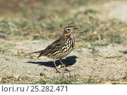 Red throated pipit (Anthus cervinus) on the ground, Oman, January. Стоковое фото, фотограф Hanne & Jens Eriksen / Nature Picture Library / Фотобанк Лори