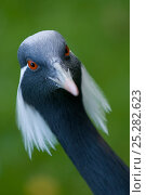 Купить «Demoiselle crane (Anthropoides virgo) portrait, captive», фото № 25282623, снято 25 апреля 2019 г. (c) Nature Picture Library / Фотобанк Лори