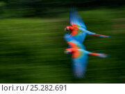 Купить «Two Scarlet macaws (Ara macao) flying, captive», фото № 25282691, снято 18 января 2020 г. (c) Nature Picture Library / Фотобанк Лори