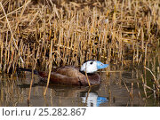 Купить «Male White-headed Duck (Oxyura leucocephala). Endemic Mediterranean to north-west China. Endangered. UK, March.», фото № 25282867, снято 7 декабря 2019 г. (c) Nature Picture Library / Фотобанк Лори