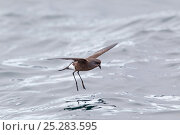Купить «Wilson's Storm-petrel (Oceanites oceanicus) hovering whilst feeding in calm conditions. Cuverville Island, Antarctic Peninsula, Antarctica, December.», фото № 25283595, снято 26 марта 2019 г. (c) Nature Picture Library / Фотобанк Лори