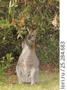 Bennett's wallaby, Tasmanian subspecies of Red-necked wallaby (Macropus rufogriseus) feeding on Acacia leaves, northern Tasmania, Australia, February. Стоковое фото, фотограф Dave Watts / Nature Picture Library / Фотобанк Лори