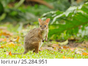 Купить «Red-legged pademelon (Thylogale stigmatica) young joey in World Heritage Area rainforest, north Queensland, Australia, November», фото № 25284951, снято 20 января 2020 г. (c) Nature Picture Library / Фотобанк Лори