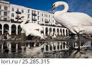 Купить «Mute Swans (Cygnus olor) in front of the Alsterarkaden. Hamburg, Lower Saxony, Germany, Europe, November.», фото № 25285315, снято 26 марта 2019 г. (c) Nature Picture Library / Фотобанк Лори