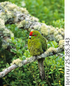 Купить «Red-crowned Parakeet (Cyanoramphus novaezelandiae) perched. Enderby Island, New Zealand.», фото № 25285343, снято 21 октября 2018 г. (c) Nature Picture Library / Фотобанк Лори