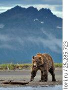Grizzly bear (Ursus arctos horribilis) walking along beach in landscape, Katmai NP, Alaska, USA, August. Стоковое фото, фотограф Andy Rouse / Nature Picture Library / Фотобанк Лори