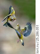 Купить «Male Greenfinches (Carduelis chloris) squabbling in flight. Dorset, UK, March.», фото № 25286051, снято 15 ноября 2018 г. (c) Nature Picture Library / Фотобанк Лори