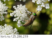 Купить «Horsefly / Horse fly / Cleg fly (Tabanus promesogaeus) feeding from Wild carrot / Queen Anne's lace (Daucus carota) flowers, Lesbos / Lesvos, Greece, May.», фото № 25286219, снято 9 июля 2020 г. (c) Nature Picture Library / Фотобанк Лори