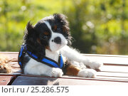 Купить «Cavalier King Charles Spaniel puppy, tricolour, 13 weeks, in a harness.», фото № 25286575, снято 20 июля 2018 г. (c) Nature Picture Library / Фотобанк Лори