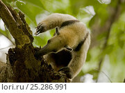 Northern Tamandua (Tamandua mexicana) foraging for ants or termites in a tree. Santa Rosa National Park tropical dry forest, Costa Rica. Стоковое фото, фотограф John Cancalosi / Nature Picture Library / Фотобанк Лори